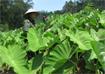 Kỹ thuật trồng khoai sọ