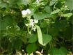 Kỹ thuật trồng cây đậu ván