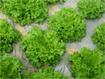 Hướng dẫn kỹ thuật trồng rau màu trong mùa mưa