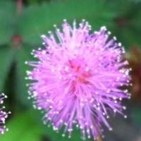 Bài thuốc dân gian chữa đau nhức xương khớp từ cỏ trinh nữ