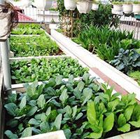 Bí quyết trồng rau nhanh lớn không bị sâu bệnh