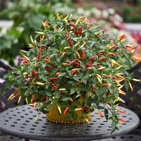 Cách trồng ớt trong chậu tại nhà hiệu quả gấp đôi