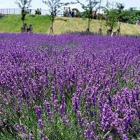 Hướng dẫn chi tiết cách trồng hoa oải hương tại Việt Nam