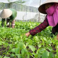 Quy trình sản xuất rau an toàn theo tiêu chuẩn VietGAP