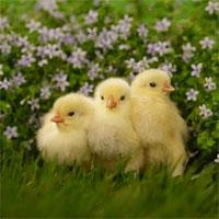 Cách chăn nuôi và phòng trị bệnh cho gà
