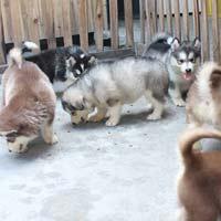Văn mẫu lớp 4: Tả con chó nuôi trong nhà