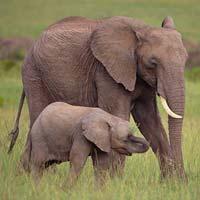 Văn mẫu lớp 4: Tả con voi trong vườn bách thú