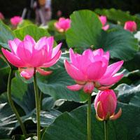 Giáo án lớp lá (5 - 6 tuổi): Hoa hồng và hoa sen