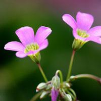 Truyện cổ tích cho bé: Sự tích hoa chua me đất