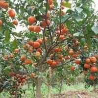 Văn mẫu lớp 4: Tả cây cam mà em yêu thích