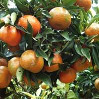 Văn mẫu lớp 4: Tả một loại cây ăn quả mà em thích