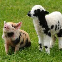 Tả con lợn nhà em