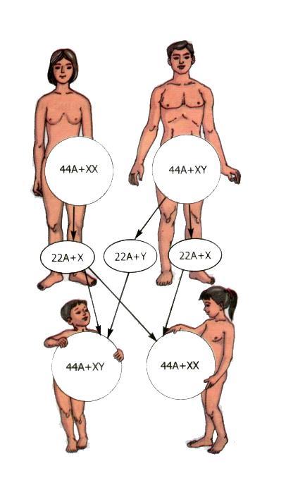 Lý thuyết Sinh học lớp 9 bài 12: Cơ chế xác định giới tính