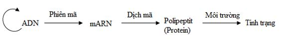 Lý thuyết Sinh học lớp 9 bài 19: Mối quan hệ giữa gen và tính trạng