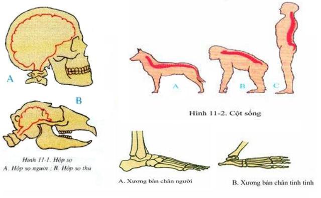 Lý thuyết Sinh học lớp 8 bài 11: Tiến hóa của hệ vận động