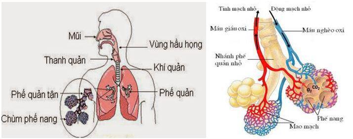 Lý thuyết Sinh học lớp 8 bài 20: Hô hấp và các cơ quan hô hấp