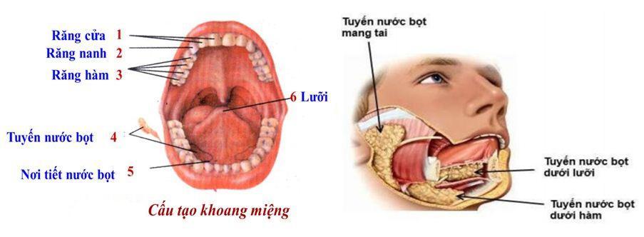 Lý thuyết Sinh học lớp 8 bài 25: Tiêu hóa ở khoang miệng