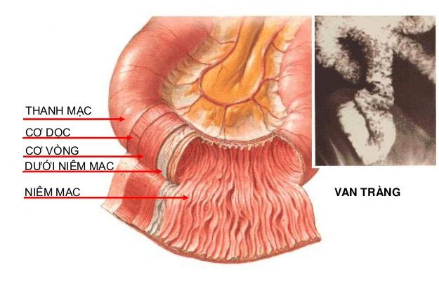 Lý thuyết Sinh học lớp 8 bài 28: Tiêu hóa ở ruột non