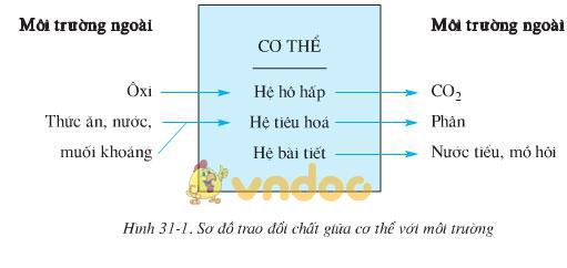 Lý thuyết Sinh học lớp 8 bài 31: Trao đổi chất