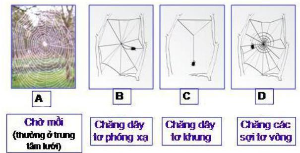 Lý thuyết Sinh học lớp 7 bài 25: Nhện và sự đa dạng của lớp hình nhện