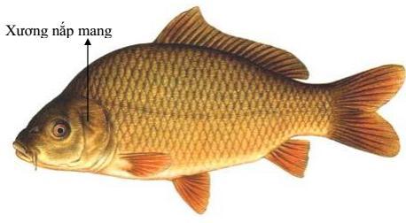 Lý thuyết Sinh học lớp 7 bài 34: Đa dạng và đặc điểm chung của các lớp Cá