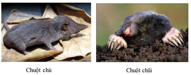 Lý thuyết Sinh học lớp 7 bài 50: Đa dạng của lớp thú bộ ăn sâu bọ, bộ gặm nhấm, bộ ăn thịt