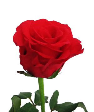 Thuyết minh về hoa hồng lớp 8