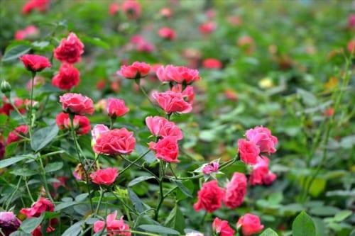 Thuyết minh về hoa hồng lớp 9