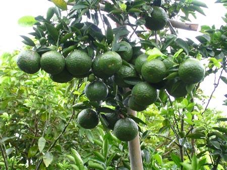 Lập dàn ý miêu tả một cây ăn quả