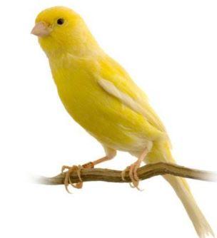 Tả con chim Hoàng Yến
