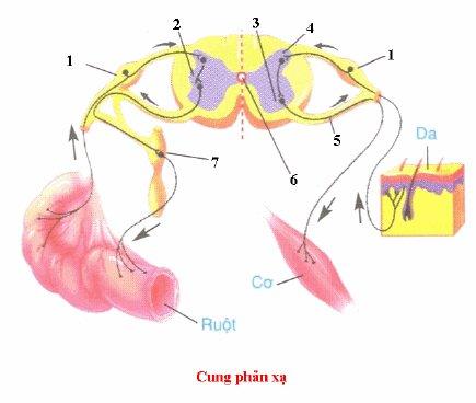 Đề kiểm tra 15 phút môn Sinh học lớp 8 bài: Hệ thần kinh sinh dưỡng