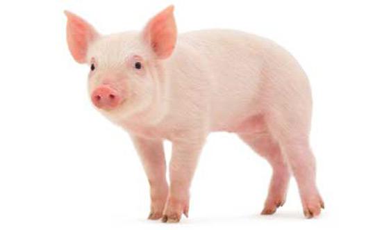 Thuyết minh về con lợn