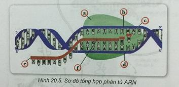 Khoa học tự nhiên 9 Bài 20: ARN, mối quan hệ giữa gen và ARN