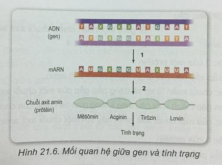 Khoa học tự nhiên 9 Bài 21: Mối quan hệ giữa gen và tính trạng