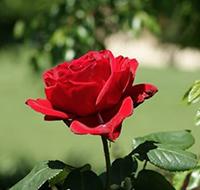 Ý nghĩa hoa hồng - Tổng hợp ảnh hoa hồng đẹp